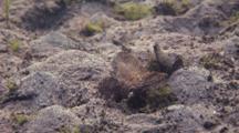 Pair Of Cockatoo Waspfish Rests On Sand Bottom, Like Leaf