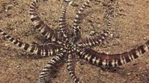 Mimic Octopus Close Moving Mimicking Crinoid?