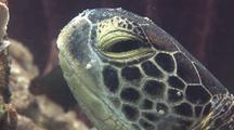 Green Turtle Resting By A Barrel Sponge