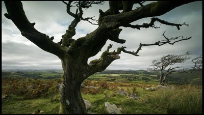 Tracking shot left to right past wind blasted hawthorn tree in foreground with other bushes and moorland stretching away in background. Mostly cloudy with some burst of sunshine. Very windy. Dartmoor, Devon, UK