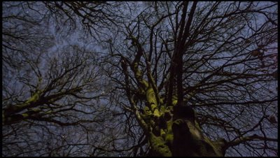 Looking up old beech tree and night sky with moonlight, stars and some cloud moving overhead, Somerset, UK