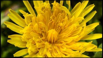 Close up of Dandelion flower, Taraxacum offiniale, opening. Looking down onto flower head. Spring