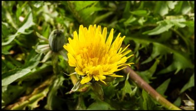 Close up of Dandelion flower, Taraxacum officinale, opening in the morning.