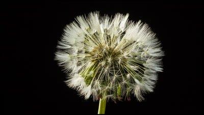 Dandelion, Taraxacum officinale, seed head opening against black background to reveal the 'clock' with arrangement of parachute seeds