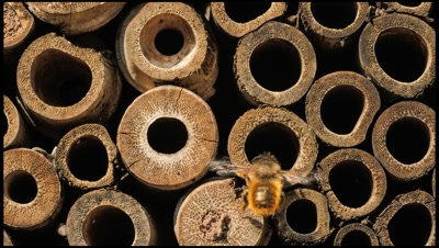 Mason bees, Osmia rufa, busy provisioning artificial nest holes made from bamboo stems. They are delivering pollen and storing it with eggs. The pollen will later feed the developing larvae.