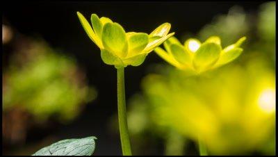 Lesser celandine, Ranunculus ficaria, flowers opening in response to sunlight.