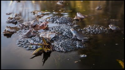 Frogs, Rana temporaria, clustered around a mound of frogs spawn which is attached to emerging lillies in a garden pond