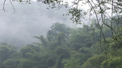 Medium wide angle mist over bamboo forest hillside in Xishuangbanna, China