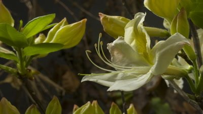 Close up Yellow Azalea Luteum bud opens on right of frame with others in background UK cultivar