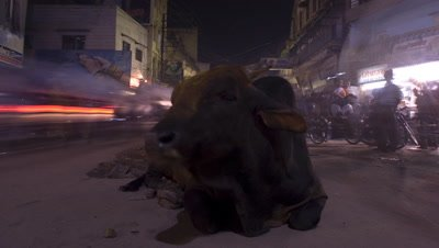 Medium wide angle cow sitting in middle of road with traffic and pedestrians streaming either side, eventually gets up and leaves