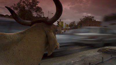 Mid shot cow's head with horns with busy traffic and pedestrians crossing as dusk becomes evening