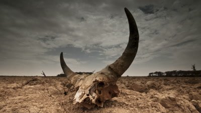 Low wide angle cow skull with horns sitting on dry desert clay as high white cumulus clouds pass over