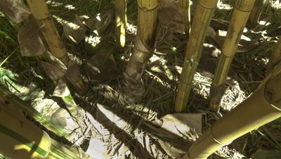 Close up sun and shadows move through base of green and yellow striped bamboo stems