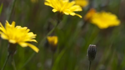 Close up single Smooth Hawk's-beard, Crepis capillaris, flower opens in foreground with more in field behind