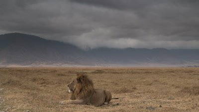 Wide angle low rain cloud moving over dry grassland of Ngorongoro crater with male lion in foreground watching then sleeping