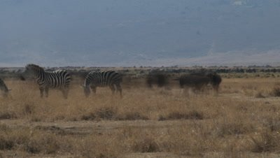Medium wide angle zebras and wildebeest grazing in dry grassland with Ngorogoro Crater walls behind