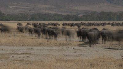 Medium wide angle pulsing herds of wildebeest and zebra move over dry season grassland in Ngorongoro Crater