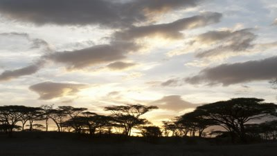 Wide angle sun slowly sets behind blue and orange evening cloud and black silhouetted acacia trees