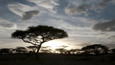 Wide angle sun sets behind black silhouetted acacia tree with evening clouds of blue and orange
