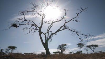 Medium wide angle sun rises behind dead tree in grassland into blue sky