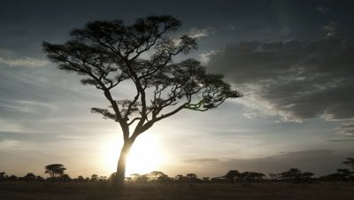 Medium wide angle pan through wooded grassland to rest on acacia tree as sun sets behind
