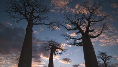 Medium wide angle evening clouds in blue sky race over top of three baobab -Adansonia- trees silhouetted against sky as light gradually fades and darkens
