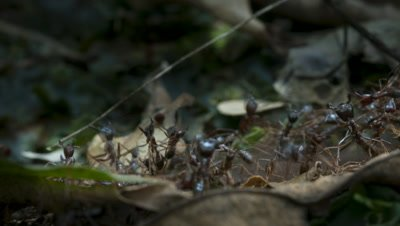 Close up army ant line transporting food across forest floor