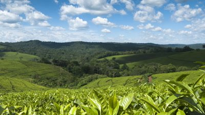 Medium wide angle cumulus white clouds move over hills of lush green tea plantation
