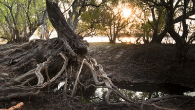 Medium wide angle sunset over Zambezi River through tangled tree roots