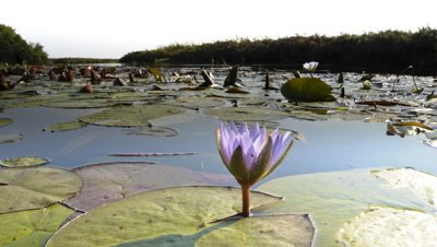 Wide angle Boteti River at dawn with blue waterlily in foreground opening from bud to full bloom with the sun