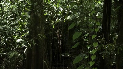 Mid shot sunlight and shadows moving across quivering vines and saplings on forest floor