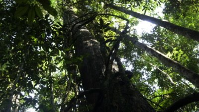 Medium wide angle looking up rainforest tree trunk towards canopy as sun moves overhead and shadows travel down the trunk