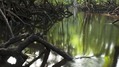 Medium wide angle mangrove forest reflected in water as tide waters rise through the tangle of roots