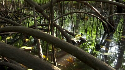 Mid shot track through mangrove roots as tide comes in and water level rises