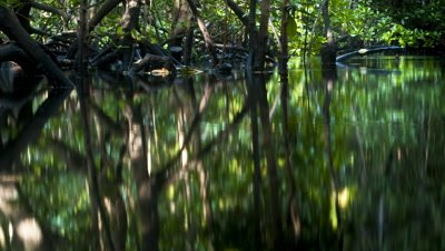 Mid shot view across water reflecting mangrove roots and tree trunks at high water level which goes down with outgoing tide