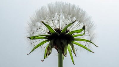 Dandelion clock opens completely from tight bud against a white background