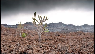 Low cloud rolls past Candelabra Cactus in the Sierra Negra Caldera, Isabala Island, Galapagos