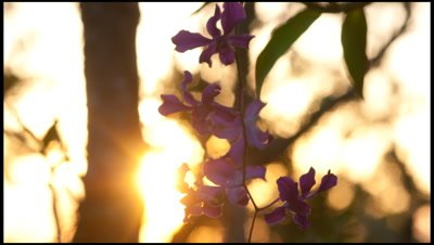 Abstract sunset behind purple orchid