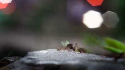 Leafcutter ants carry pieces of leaf and flower along street curb with city lights beyond