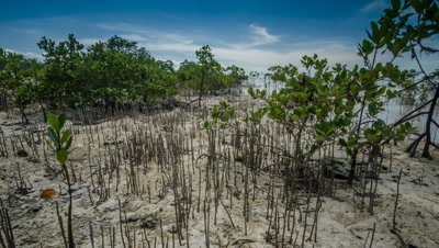Track past mangrove seedling with rising tide. Philippines