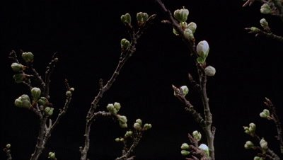 Close up Blackthorn blossom on leafless branches against black background