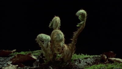 Close up fern fronds emerge from leaf litter and unfurl against black background