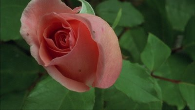 Close up single salmon pink rose bud - Lovely Lady - opens to fill entire frame