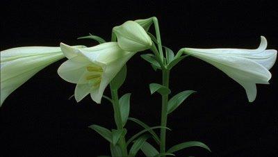 Medium close up 4 x white lily buds - Lilium candidum - open against black background