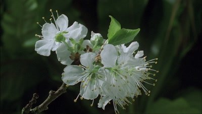 Close up apple blossom bud on end of branch blooms into cluster of white flowers with green foliage background
