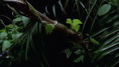 Close up vine tendrils and vine stem with leaves curling around woody vine, featuring palm fronds, against dark shadowy background