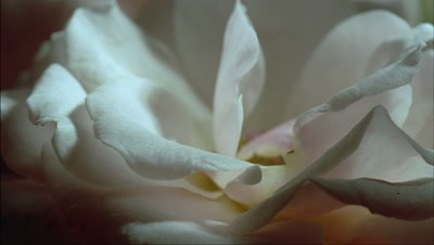 Close up white rose bloom collapses an petals wither, curl and fall away