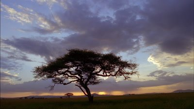 Wide angle bruised purple rain clouds mill over silhouetted acacia tree then turns to orange sunset then black