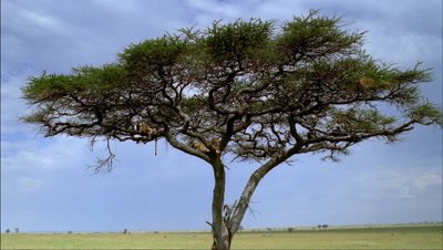 Wide angle acacia tree with 2 lions in lower branches, classic Serengeti savannah landscape - matches RK10062 and 63 and 64 and 65