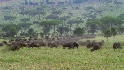 Wide angle herds of wildebeest grazing and moving over grasslands with acacia trees